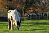 Champion (meniscuslens) Tags: piebald cob pony rda retired field paddock trees mane horse trust charity buckinghamshire aylesbury princes risborough