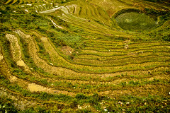Rice field maze (Jecika381) Tags: rice fields maze sapa vietnam green agriculture
