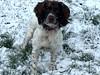 Snow for Christmas (Heaven`s Gate (John)) Tags: snow christmas dog pet springer spaniel brock johndalkin heavensgatejohn field cold winter landscape solihull england