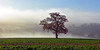 """Oak Fired Mists"" (AndyorDij) Tags: oak misty mist fog foggy oilseedrape field tree england rutland uk unitedkingdom andrewdejardin 2017 winter lyndon lyndonhill lyndonhall december"