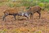 Red Deer rutting  - (Cervus elaphus) 'Z' for zoom (hunt.keith27) Tags: patch rump buff paler russetbrown dark territory branchingantlers moorland antler stag reddeer cervuselaphus anima animal grass landscape richmondpark