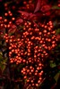 Season's Greetings (The Spirit of the World) Tags: usa sandiego california berries holidays plant foliage winter bush red redberries festive nature nandina