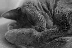 The best thing to do on holidays (Jana`s pics) Tags: cat blackandwhite bw monochrom sleeping relaxing schlafen entspannen gemütlich hauskatze stubentiger cute niedlich bnw bwphotography holidaymood holidaymode katze holiday christmas chillout animals pet kittycat closeup macro makro nahaufnahme
