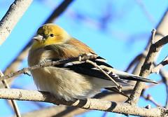 American goldfinch at Lake Meyer Park IA 854A3667 (lreis_naturalist) Tags: american goldfinch lake meyer park winneshiek county iowa larry reis