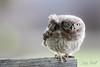 Little Owl Fledgling (Daryn Mockett) Tags: cute stunning gorgeous