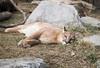DSC03750 (montusurf) Tags: puma mountain lion cougar cat feline predator cincinnati zoo ohio nky