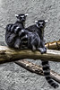 2017 From the Cutting Room Floor-63 (AaronP65 - Thnx for over 10 million views) Tags: burgerszoo arnhem gelderland lemur