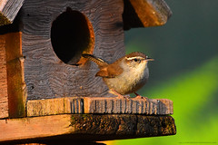 "Bewick's_Wren_03 (DonBantumPhotography.com) Tags: wildlife nature animals birds bewickswren ""donbantumphotographycom"" ""donbantumcom"" ""nikon d7200"" ""afs nikkor 200500mm f56e ed vr"""