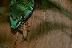 Madagascar Day Gecko (Phelsuma madagascariensis) _DSC0042 (ikerekes81) Tags: madagascardaygeckophelsumamadagascariensis madagascardaygecko phelsumamadagascariensis madagascar day gecko phelsuma madagascariensis reptile animal reptilediscoverycenterzoonationalnational rdc reptilediscoverycenter smithsoniannationalzoologicalpark smithsonian smithsoniannationalzoo national nationalzoo zoo zoosmithsonian zoological nikond3200 nikon d3200 sb700 18105mm photoclub fonz fonzphotoclub