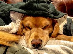Snuggly Warm (bztraining) Tags: dogchal henry bzdogs bztraining golden retriever 3652017