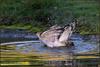 Sparrowhawk (image 1 of 3) (Full Moon Images) Tags: raspy sandy lodge thelodge wildlife nature reserve bedfordshire bird birdofprey pool pond bath bathing washing sparrowhawk
