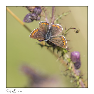 Brown Argus butterfly - always a treat to find