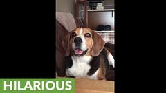 Man has full on conversation with talking beagle (Darth Viral) Tags: dogvideos dogsandpuppies funnydogs funnypets funnyvideos petvideos puppyvideos viralvideos