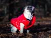 Baron 19ww (wketsch) Tags: grass leaves baron dog pug animal pup mops wood loveley
