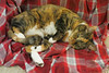 Gracie 19 December 2017 8053Ri 4x6 (edgarandron - Busy!) Tags: cat cats kitty kitties tabby tabbies cute feline gracie patchedtabby
