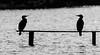 9Q6A6747 (2) (Alinbidford) Tags: alancurtis alinbidford brandonmarsh wildbirds cormorant