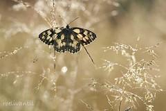 Loving sunshine (roelivtil) Tags: bokeh butterfly dambordjemelanargiagalathea dew dewdrops marbledwhite slowakije summertime vlinder macrodreams
