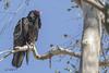 _X3A1543 (brianmcbride1946) Tags: birds vulture