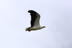 white bellied sea-eagle ((((vixpen)))) Tags: flying fox canungra scenic rim gold coast hinterland queensland australia white bellied sea eagle