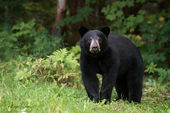 Best Of 2017 (Megan Lorenz) Tags: yearling blackbear bear bruin animal mammal americanblackbear nature wildlife wild wildanimals ontario canada mlorenz meganlorenz