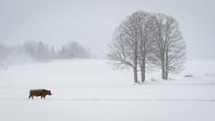 Warmer In Heart (Bert CR) Tags: cold newyearsday snow winter happynewyear 2018 warmerinheart peerpressure cow farm farmanimal ruminant bitterlycold