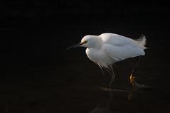 Snowy Egret (phoca2004) Tags: alamedacounty bird d90 ebrpd egrettathula martinlutherkingjrregionalshoreline nikon oakland snowyegret wader california unitedstates us