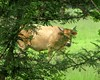 the cows are not what they seem (CatnessGrace) Tags: cattle cow foliage nature trees green