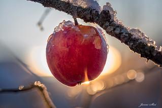 A frozen apple