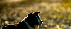 Reflecting thoughts (JJFET) Tags: border collie dog sheepdog