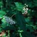 Asclepias quadrifolia - Asclepiadaceae