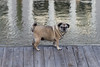 余分な悪い犬 (Bob90901) Tags: dog pug longisland newyork animal afternoon rpg90901 canon 6d canonef70200mmf28lisiiusm canon70200f28lll 2017 november 1501