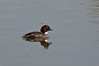 Female Goldeneye (rtatn8) Tags: stockerslake uk wildlife bird goldeneye divingduck ornithology waterfowl lake nature outdoor wild england onwater color colour bucephalaclangula flikr