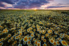 Happy New Year! (circleyq) Tags: flower sunset carrizo plain california landscape outdoor central valley field wildflower