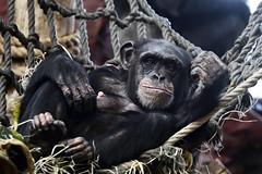 Schimpanse (Michael Döring) Tags: gelsenkirchen bismarck zoomerlebniswelt zoo schimpanse chimpanzee d850 michaeldöring inexplore afs200500mm56e