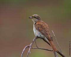 Red-backed Shrike (f) (leendert3) Tags: leonmolenaar wildlife nature birds krugernationalpark southafrica redbackedshrikef ngc npc