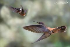 Colibri delphinae y Calliphlox mitchellii (Jacobo Quero) Tags: colibridelphinae calliphloxmitchellii colibrí hummingbird bird ave tandayapa ecuador nature naturaleza wildlife