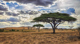 Acacia Dreams ...
