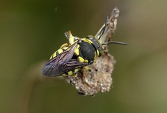 Anthidiellum strigatum m - 31 VII 2017 (el.gritche) Tags: hymenoptera france 40 garden megachilidae anthidiellumstrigatum male sleep sleeping bee abeille