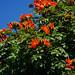 Spathodea(African tuliptree)