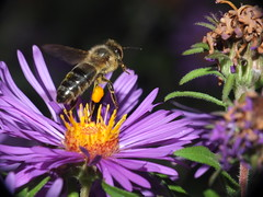 Honey Bee Flying Off Of An Aster Flower DSCF5199 (Ted_Roger_Karson) Tags: honeybee honeybeeflying aster asterflowers supermacro fujifilm xs1 honey bee flying hand held camera raynox dcr150 northern illinois flowers bumble thistle flower thisisexcellent super macro lens flowerhead yard friends twop bug hd fuji eyes m150 macroscopic pollen animal outdoor insect pollinator plant depth field backyard animals garden