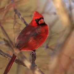 Male Cardinal_56 (Scott_Knight) Tags: cardinal male tree red minnesota bloomington canon songbird knight 70200