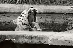 Yawn (Ivan Pistone) Tags: tigre tiger zoom canon ftb ilford multigrade sigma 400mm yawn lazy durst da900 torino turin bioparco parc zoologique parco zoologico zoo