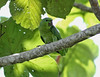 Curica verde (Graydidascalus brachyurus (Kuhl, 1820)) (daviabreu) Tags: carreirodavárzea amazonas brasil curicaverdegraydidascalusbrachyuruskuhl 1820