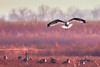 Coming in for a Landing (johncwade61) Tags: 2017 bakerwetlands birds seagull