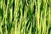 7D9_1125 (bandashing) Tags: rice paddyfield agriculture floods water monsoon grass grains farm village lush green sylhet manchester england bangladesh bandashing aoa socialdocumentary akhtarowaisahmed