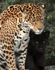 Jaguar Rica and cub Artis BB2A2239 (j.a.kok) Tags: jaguar jaguarcub jaguarwelp blackjaguar zwartejaguar artis rica animal zoogdier zuidamerika southamerica mammal predator kat cat