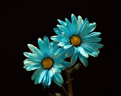 Cheerful 1123 (Tjerger) Tags: nature beautiful black blackbackground bloom blooming blooms blue closeup daisies daisy duo fall flora floral flower flowers macro pair plant portrait two wisconsin yellow cheerful natural