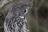 Focused (jrlarson67) Tags: great gray grey owl wild bird raptor wildlife nature saxzim sax zim bog mn minnesota