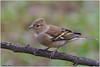 Fringuello (fausto.deseri) Tags: chaffinch fringillacoelebs fringuello wildlife nature birds wildanimals nikond7100 nikkor300mmf28afsii nikontc17eii faustodeseri