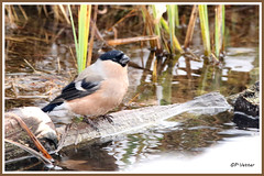 Bouvreuil femelle bain 171220-03-RP (paul.vetter) Tags: oiseau ornithologie ornithology faune animal bird bouvreuilpivoine pyrrhulapyrrhula eurasianbullfinch camachuelocomún domfafe gimpel